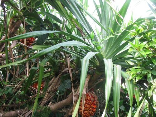 chữa viêm đường tiết niệu bằng cây dứa dại